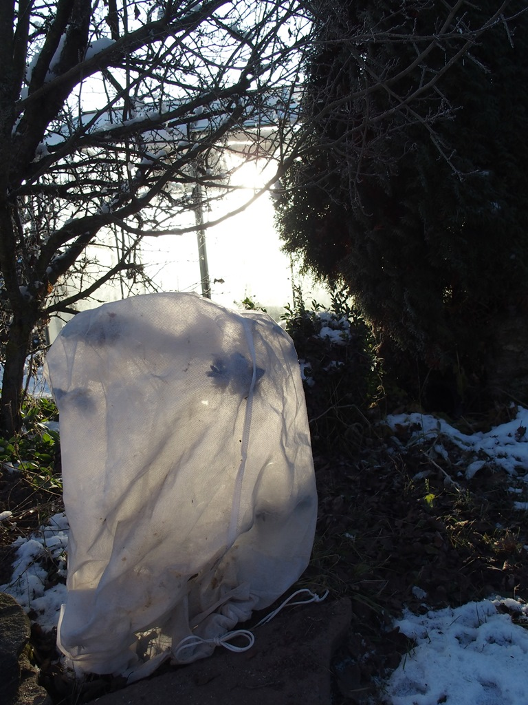 rododendrai ziemai