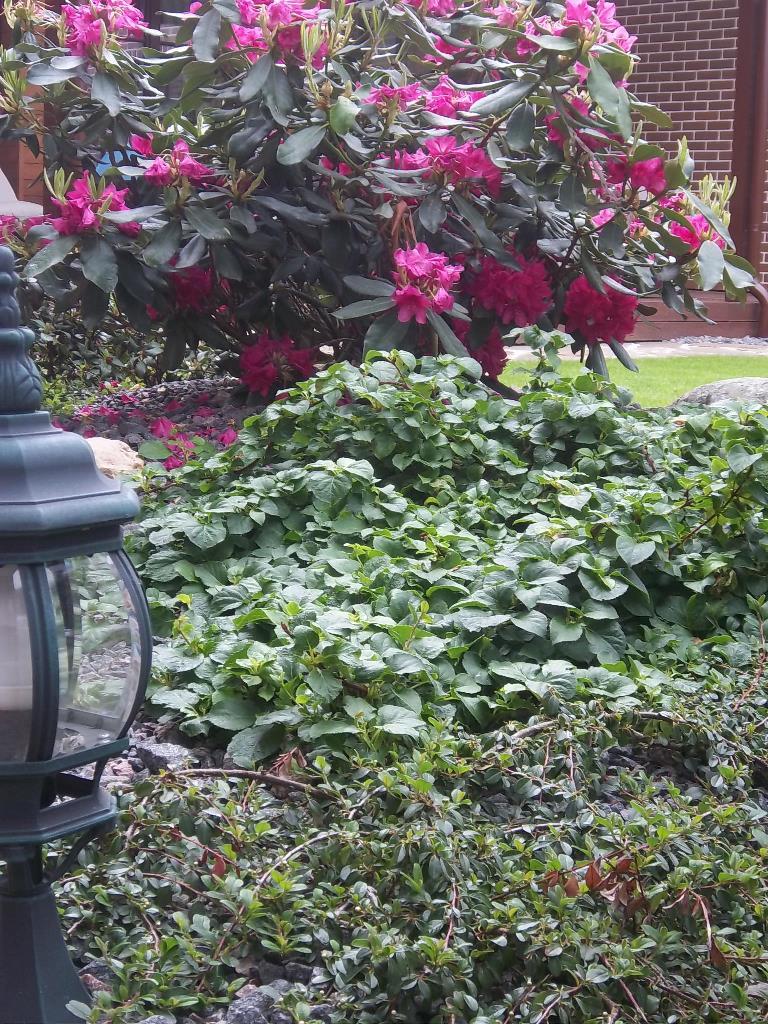Rododendrai ziema